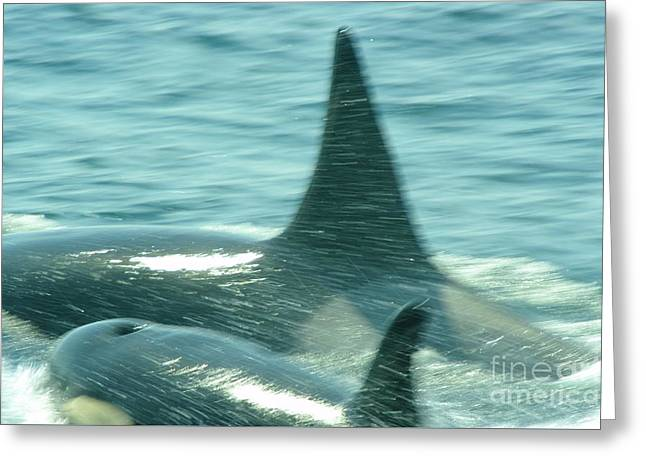 Cow Orca And Her Calf Greeting Card by Jeff Swan