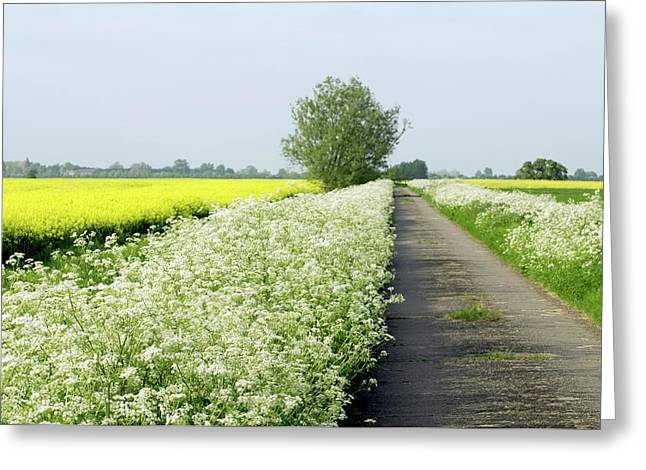 Cow Parsley (anthriscus Sylvestris) Greeting Card