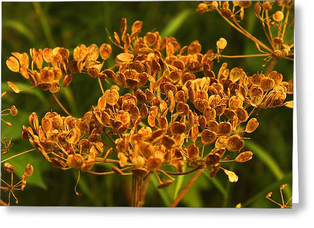 Greeting Card featuring the photograph Cow Parsnip Seeds by Sandra Foster