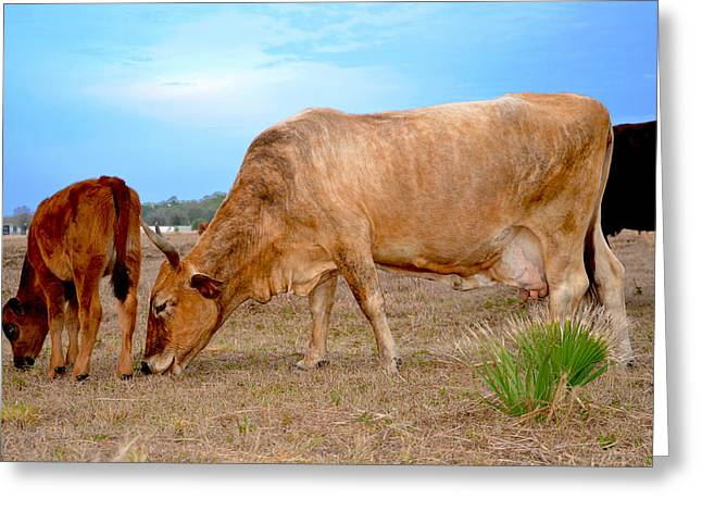 Greeting Card featuring the photograph Cow Photo 2 by Amanda Vouglas