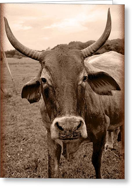 Greeting Card featuring the photograph Cow Photo 5 by Amanda Vouglas