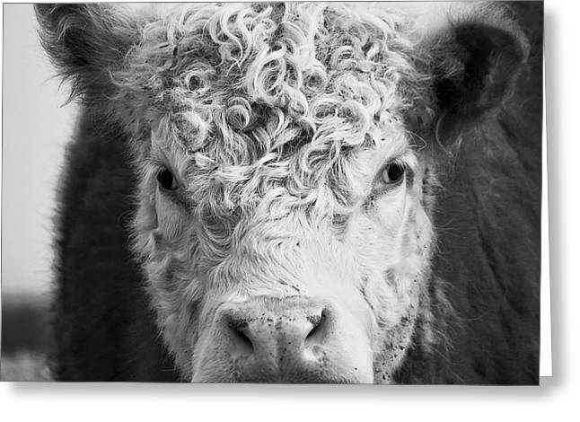 Cow Square Greeting Card by Edward Fielding