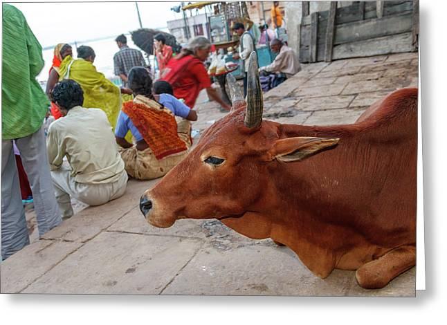 Cow, Varanasi, India Greeting Card