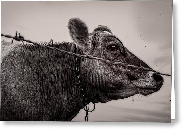 Cow With Flies Greeting Card by Bob Orsillo