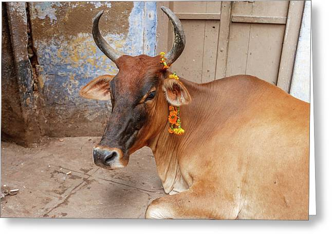 Cow With Flowers, Varanasi, India Greeting Card