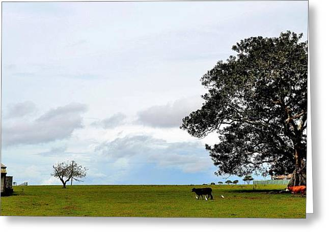 Cows And Shack - Australia Greeting Card