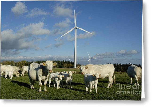 Cows And Windturbines Greeting Card by Bernard Jaubert