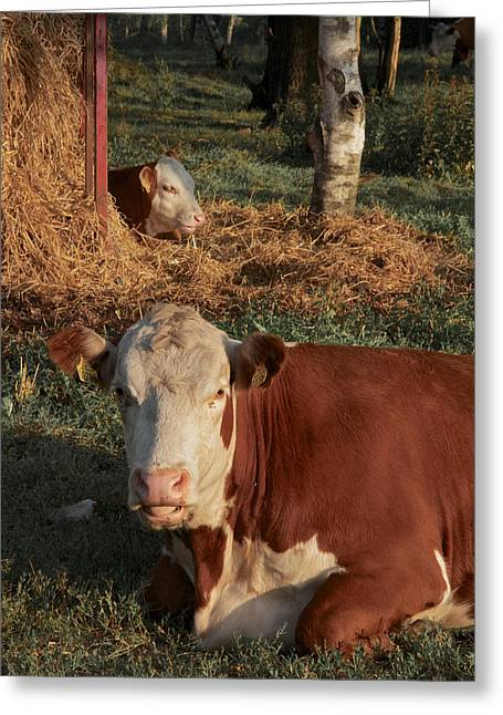 Cows At Work 2 Greeting Card by Odd Jeppesen