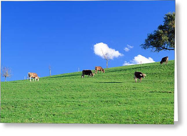 Cows, Canton Zug, Switzerland Greeting Card by Panoramic Images