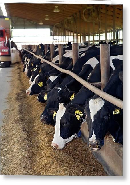 Cows Feeding Greeting Card