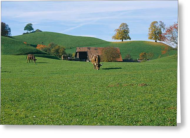 Cows Grazing On A Field, Canton Of Zug Greeting Card by Panoramic Images