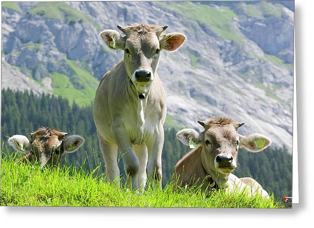 Cows In An Alpine Pasture Greeting Card by Ashley Cooper