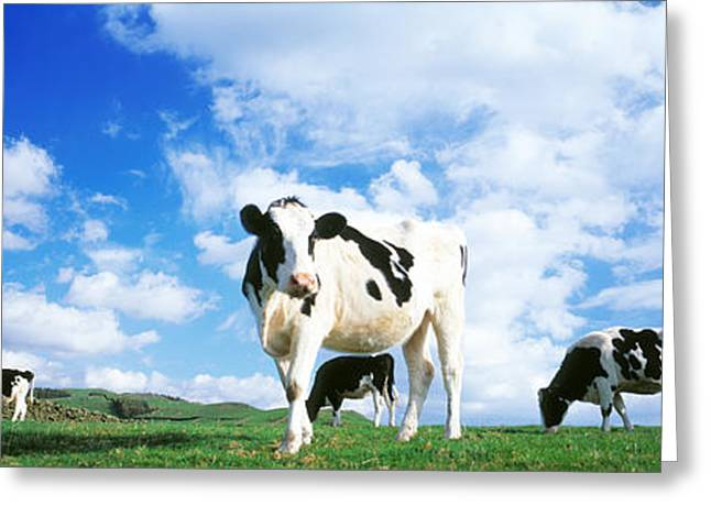 Cows In Field, Lake District, England Greeting Card by Panoramic Images