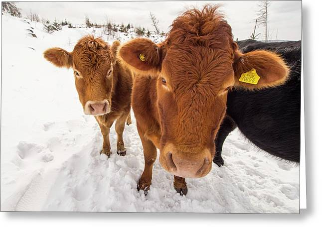 Cows In Winter Greeting Card