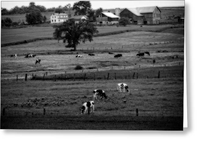 Cows On The Amish Farm Greeting Card by Dan Sproul