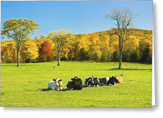 Cows Resting On Grass In Farm Field Autumn Maine Photograph Greeting Card by Keith Webber Jr