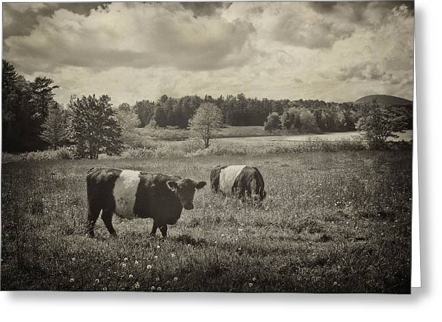 Cows Rockport Maine Greeting Card
