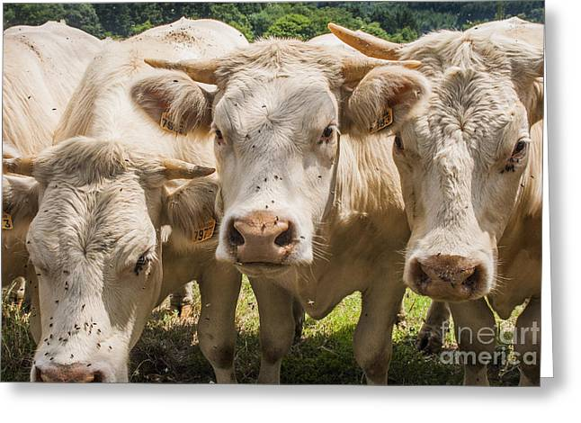 Cows Up Close Greeting Card by Patricia Hofmeester