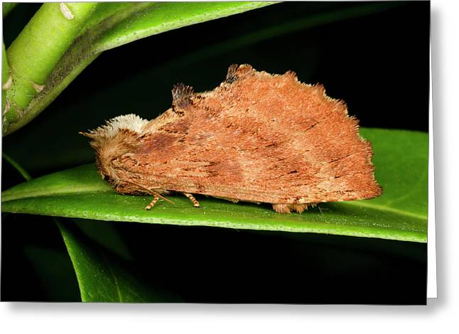 Coxcomb Prominent Moth Greeting Card by Nigel Downer