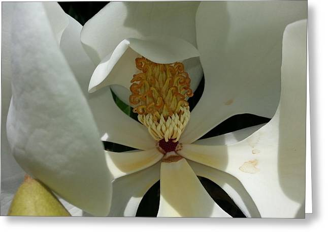 Coy Magnolia Greeting Card