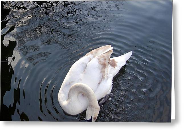 Coy Swan Greeting Card