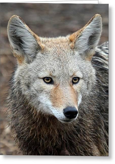 Coyote Greeting Card by Athena Mckinzie
