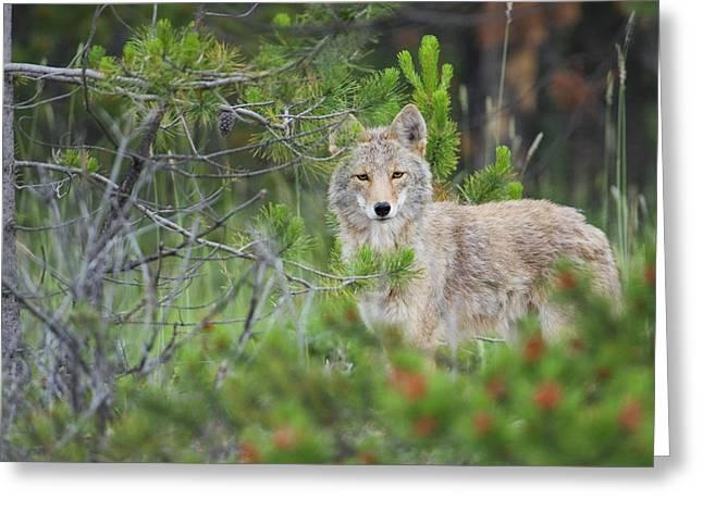 Coyote Behind Pine Tree Greeting Card