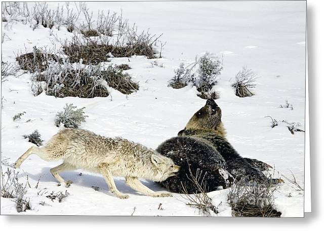 Greeting Card featuring the photograph Coyote Biting A Grizzly by J L Woody Wooden
