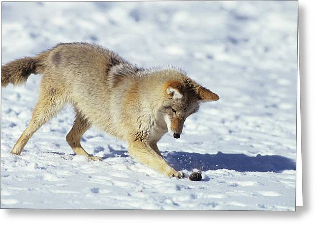 Coyote (canis Latrans Greeting Card by Richard and Susan Day