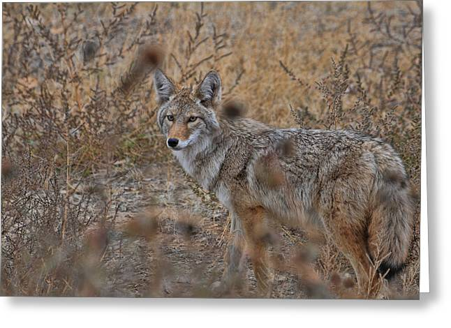 Greeting Card featuring the photograph Coyote by David Armstrong