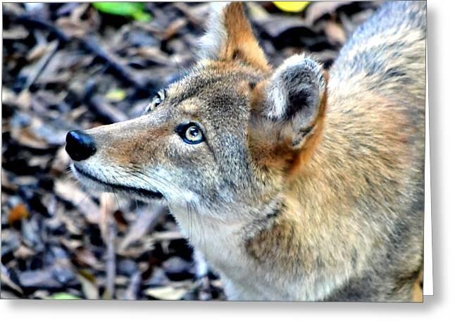 Coyote Greeting Card by Deena Stoddard