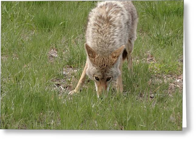 Coyote Eyes Greeting Card by Dan Sproul