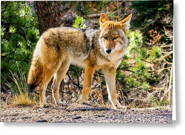 Coyote Eyes Greeting Card