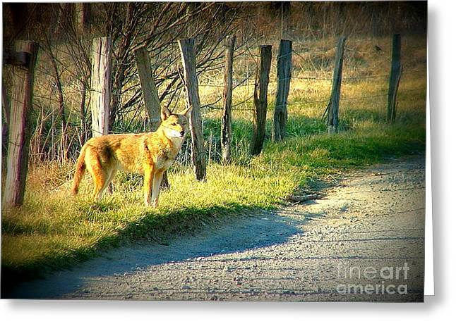 Coyote In Cades Cove Greeting Card