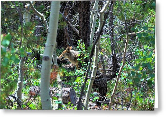 Coyote In Estes Park Greeting Card