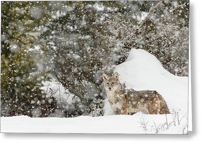 Coyote In Snow, (captive Greeting Card