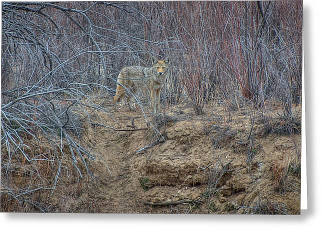 Coyote In The Brush Greeting Card by Britt Runyon