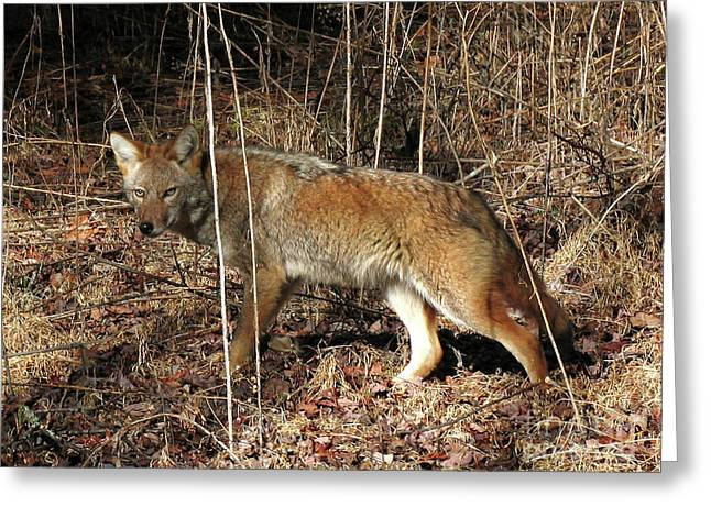 Coyote In The Cove Greeting Card by Douglas Stucky