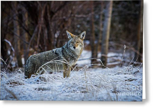 Coyote In The Meadow  Greeting Card