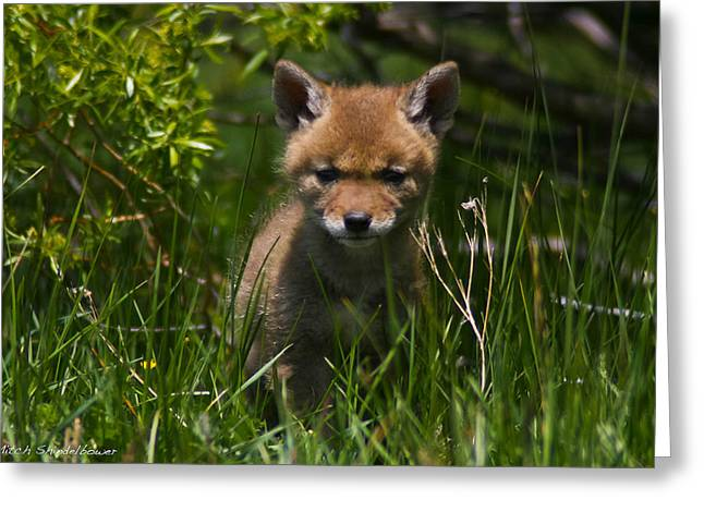 Greeting Card featuring the photograph Coyote Pup by Mitch Shindelbower