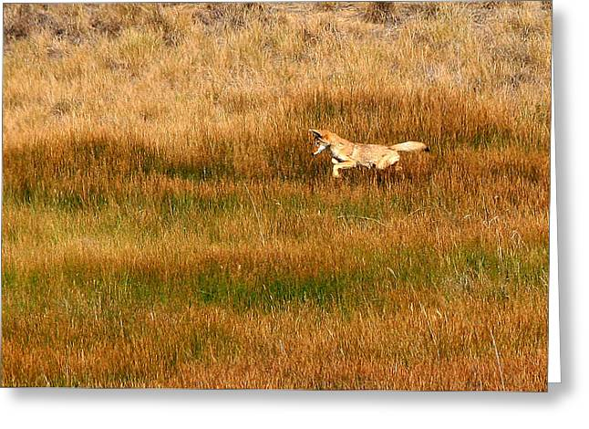 Coyote Pup Greeting Card by Rebecca Adams