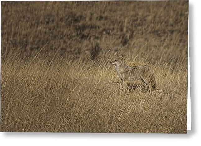 Coyote Standing In Field Of Dried Greeting Card by Roberta Murray