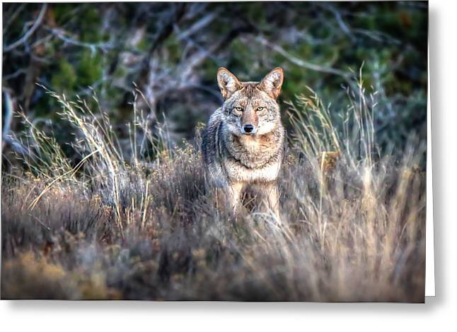 Coyote Stare Down Greeting Card