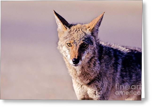Coyote Stares Greeting Card