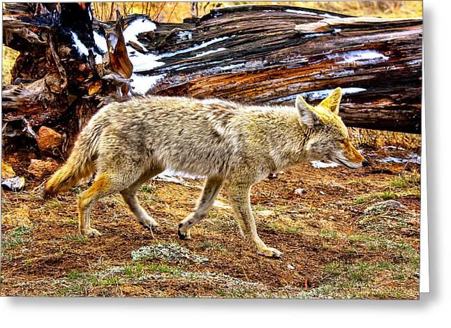 Coyote Stroll Greeting Card