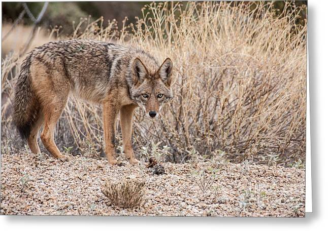Coyote With Prey Greeting Card by Marianne Jensen