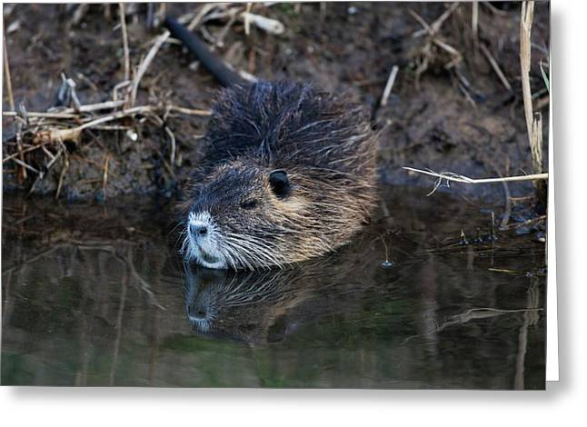 Coypu Greeting Card by Photostock-israel