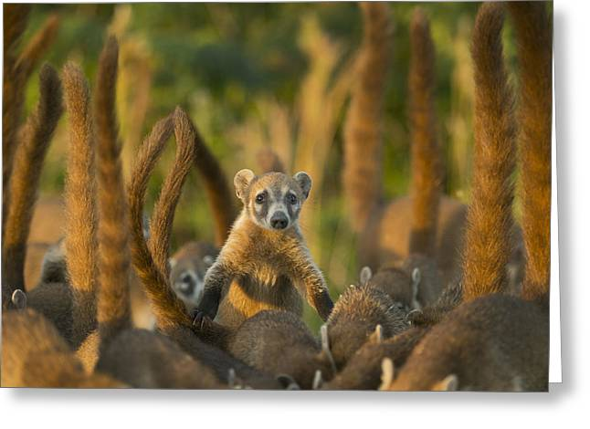 Cozumel Island Coati Cozumel Island Greeting Card by Kevin Schafer