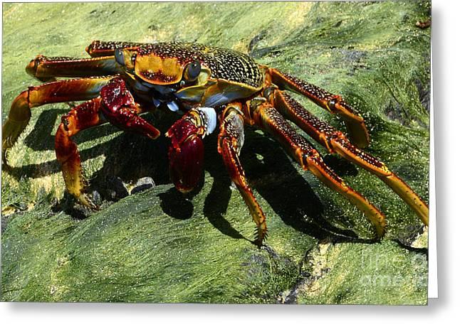 Crab Alert Brazil Greeting Card by Bob Christopher