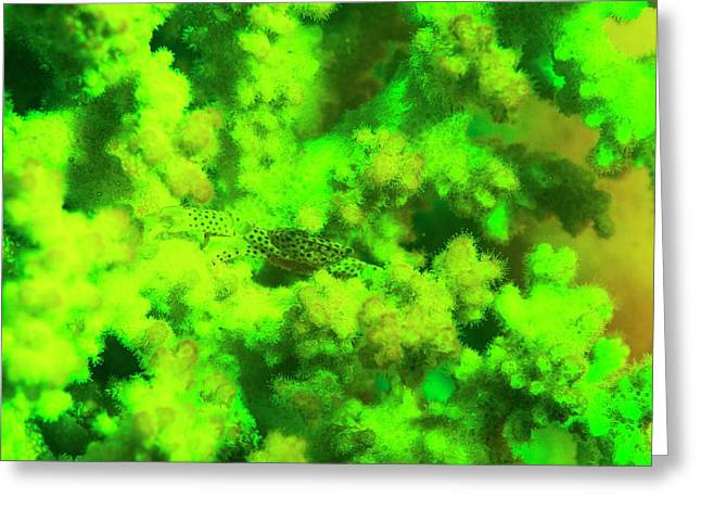 Crab And Coral Fluorescing Underwater Greeting Card by Louise Murray